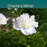 "$4.00 PER STEM A full white double with a hint of yellow in the center.  The flower size is approximately 4.5-5.5""."